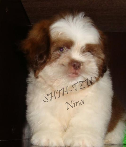 Nina Shih-tzu Menor Porte sp 11-2279-7645