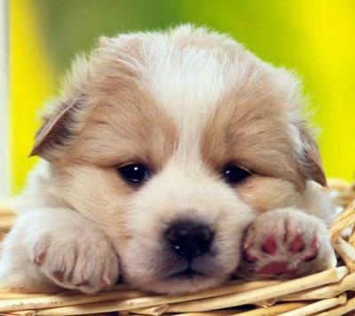 5 dicas para cuidar do seu filhote de cão recém chegado