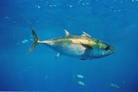 Atum é alimento saudável