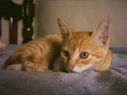 Biografia do Gato Amarelo