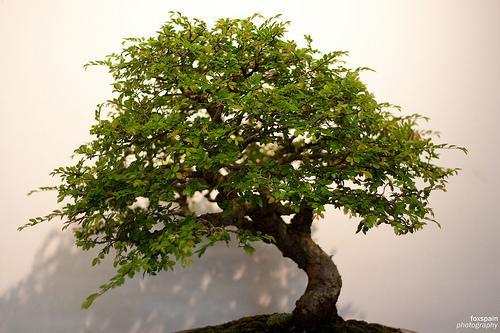 Bonsai: uma arte milenar