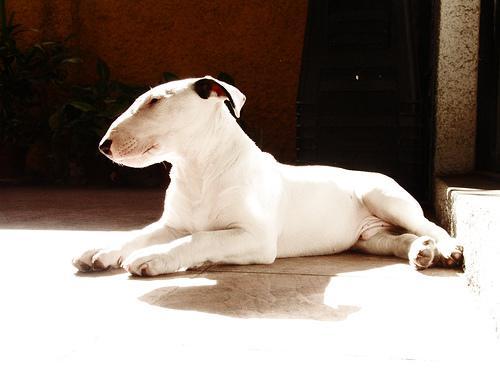 Bult Terrier