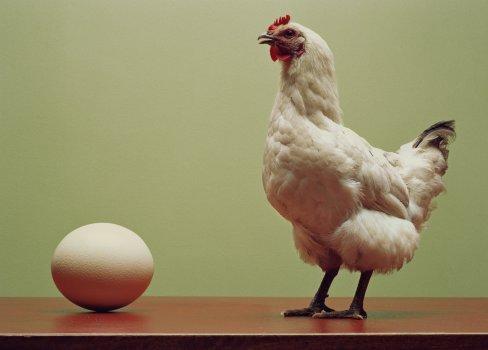 Como as galinhas põem ovos