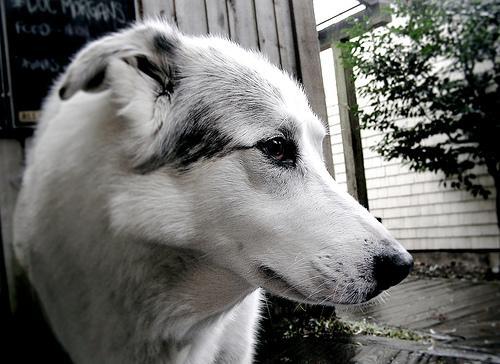 Conheça cães de guarda