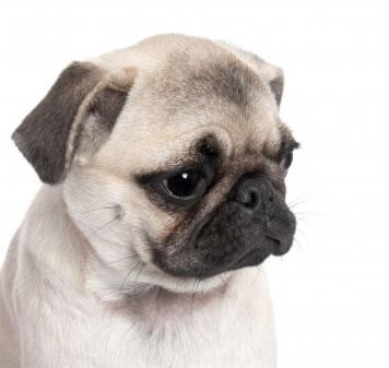 Conhecendo o cachorro e suas raças