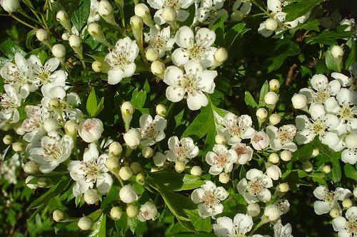 Flores aromáticas, uma junção de fragrâncias..