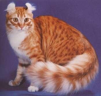 O Singular Gato American Curl