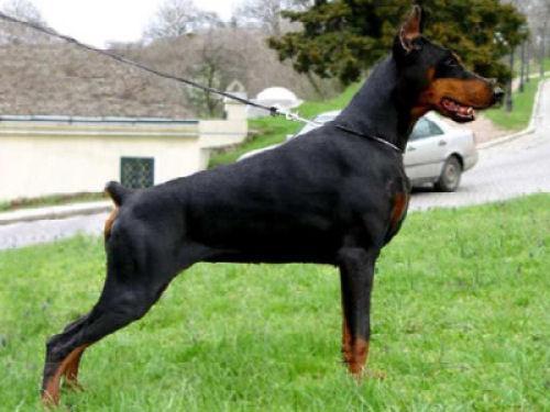 Os 10 cães mais perigosos
