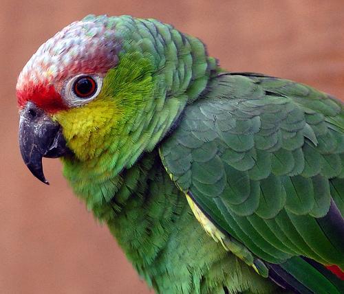 Papagaio – um amigo a considerar