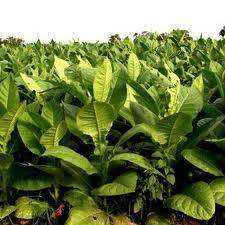 Planta do tabaco