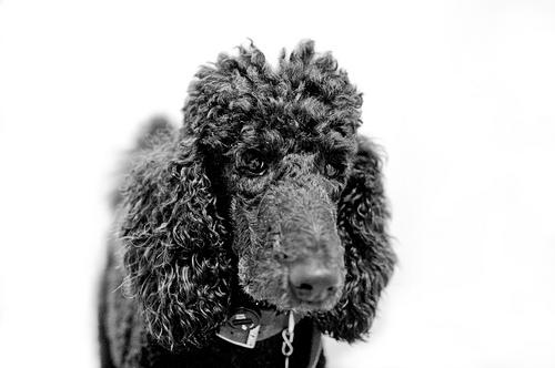 Poodle/Caniche