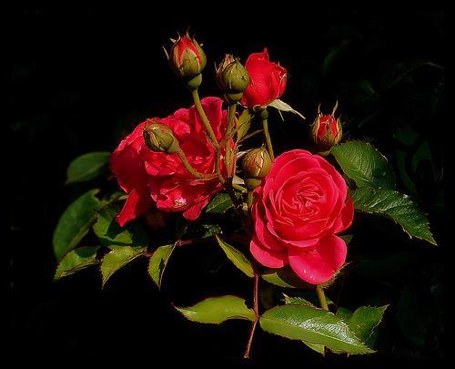 Roseiras em ordem