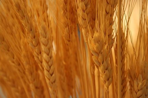 Silagem: armazenamento de grãos alimentares