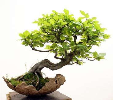 Bonsai - As árvores em miniatura