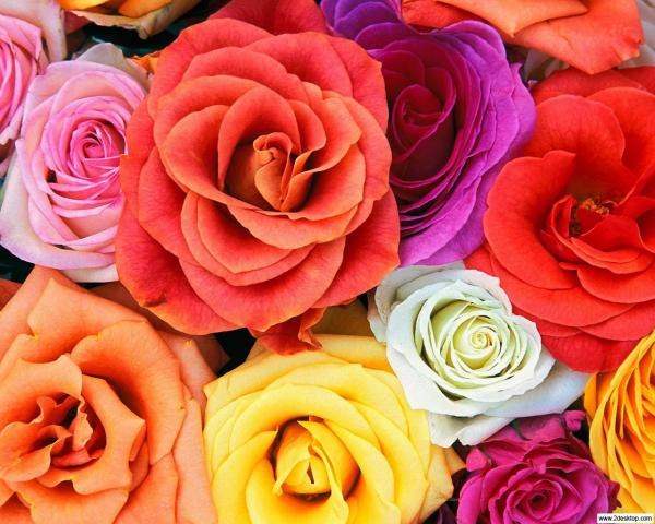 Cada rosa trás uma mensagem com a sua cor. Sabe qual?