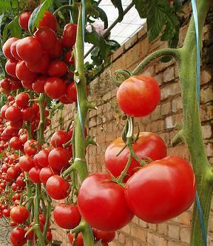 Como Cultivar Tomate