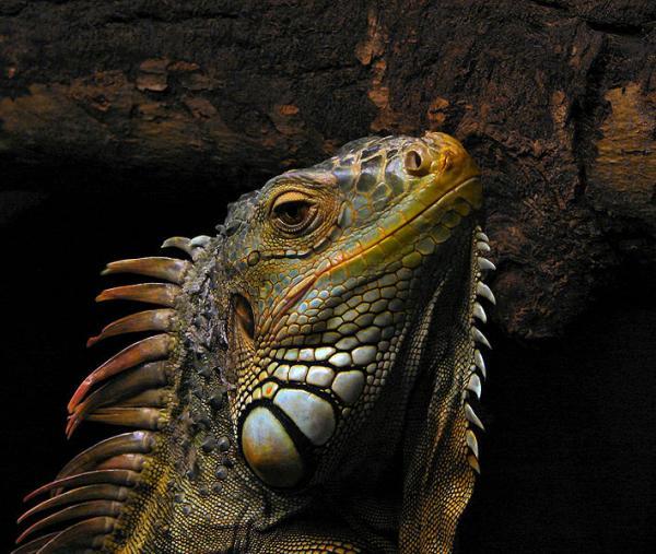 Cuidar de uma iguana