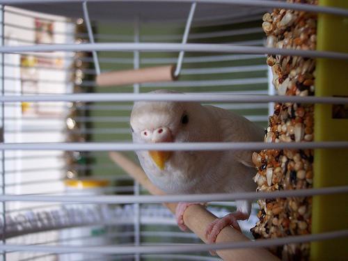Limpe correctamente a gaiola do seu pássaro