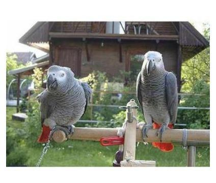 Magnifico, pura e adorável africano cinzento papagaios para adoção com papéis