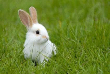Quero um coelho anão!