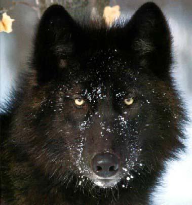 O lobo que vive dentro de nós.