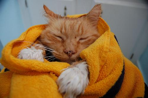 O primeiro banho do seu gato