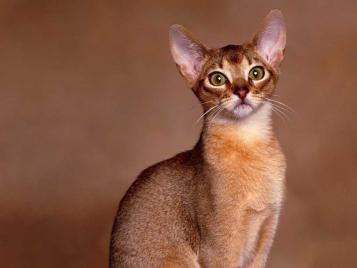 Raças de Gatos - O Abissínio