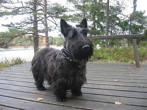 Scottish Terrier ou Terrer escocês